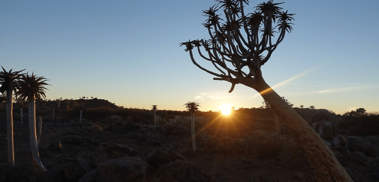 Quivertree, Namibia