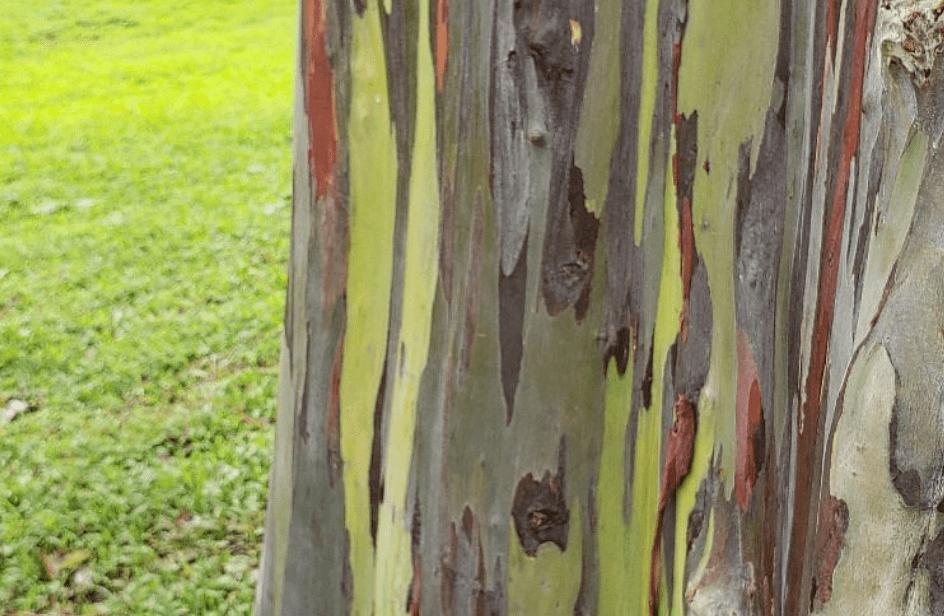 Rainbow Eucalyptus, Hawai