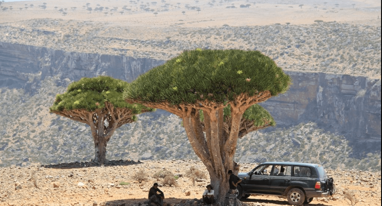 Dragon's blood tree (Socotra, Yemen)