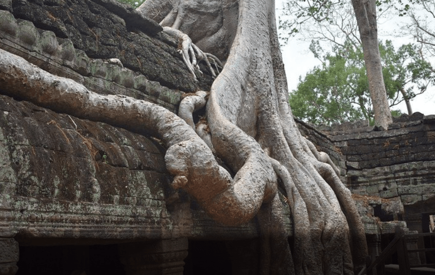 trees  of Angkor Temple, Cambodia